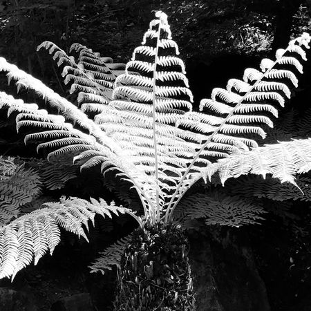 Fern in sunlight at Gardens Castle Trauttmansdorff, Meran, a visit! Italy Meran Sunlight IPhoneArtism IPhoneography IPhone Blackandwhite Blackandwhite Photography Iphoneart IPhoneX Structure Flower No People Plant Tree Nature Day Growth Leaf Plant Part Beauty In Nature Sunlight Pattern Outdoors