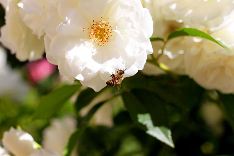 Animal Themes Animals In The Wild Beauty In Nature Bee Close-up Day Flower Flower Head Fragility Freshness Growth Insect Nature No People One Animal Outdoors Petal Plant White Color Wild Rose белые цветы насекомые пчела роза цветы