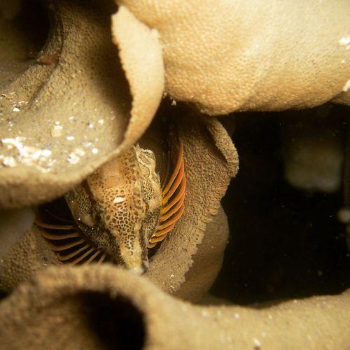 Grunt Sculpin in Cloud Sponge. Fishes Fish Scuba Diving Underwaterphotography Underwater Photography Underwater Grunt Sculpin Cloudsponge