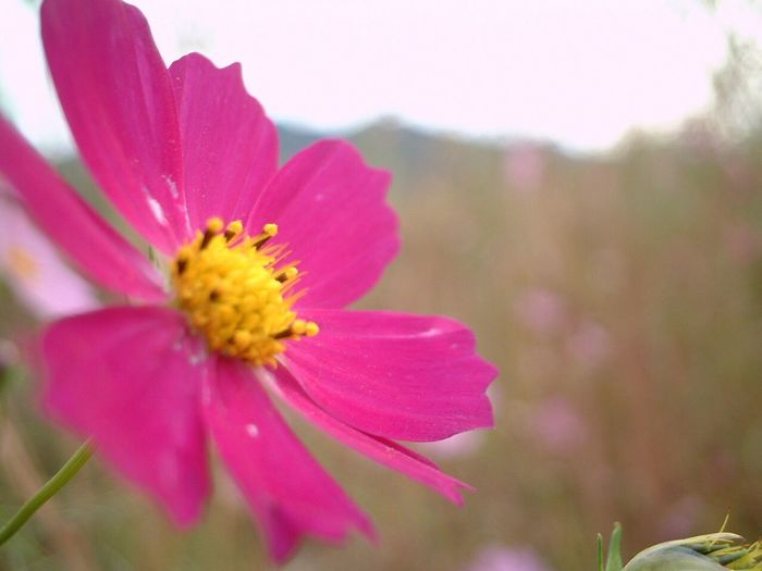 Flower Petal Fragility Beauty In Nature Flower Head Pink Color Nature Freshness Growth Close-up No People Focus On Foreground Plant Blooming Day Cosmos Flower Outdoors Pollen I Want To Know Your Secret, C I Always Thinking About U, G Thank You,❤️ 감사합니다