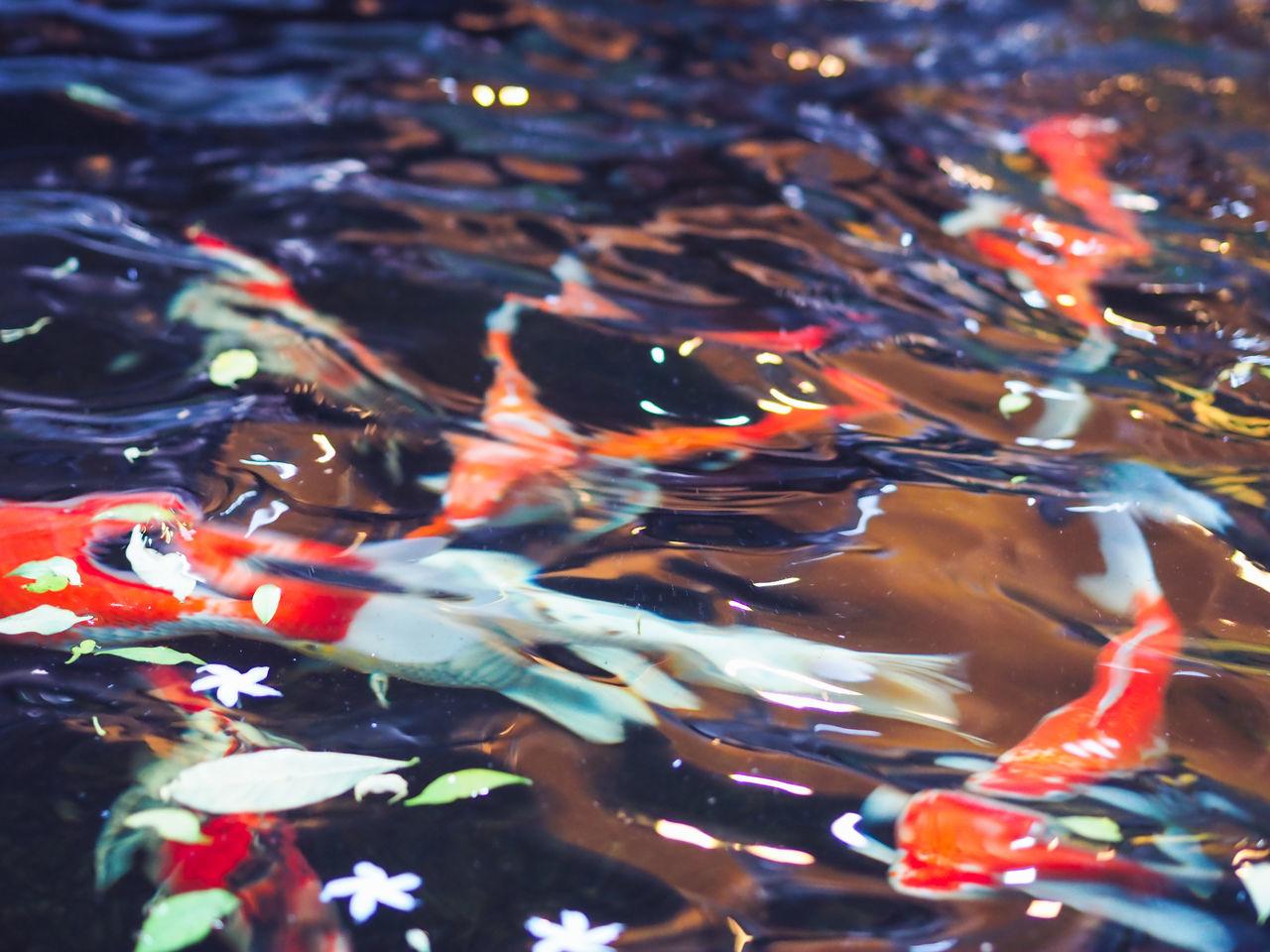 Close-Up Of Koi Carp Underwater