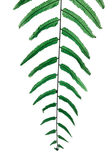 Close-up of fern against white background