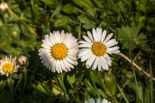 White flowers and green leaveas on the green field Beauty In Nature Blooming Close-up Day Flower Flower Head Fragility Freshness Growth Nature No People Outdoors Petal Plant White Color Yellow