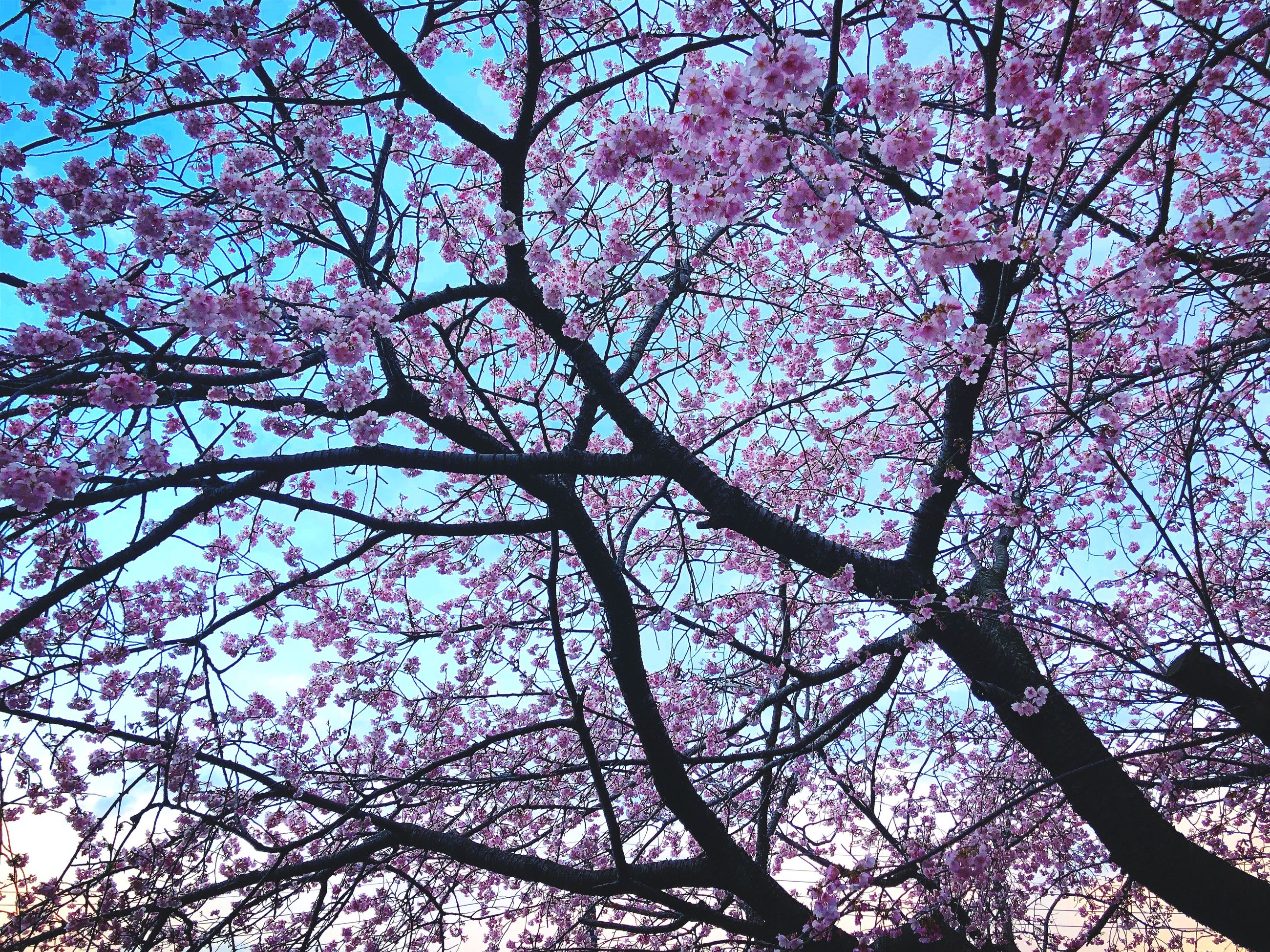 tree, branch, plant, low angle view, blossom, flower, pink color, growth, flowering plant, springtime, beauty in nature, nature, no people, cherry blossom, sky, day, fragility, freshness, cherry tree, outdoors, spring, tree canopy