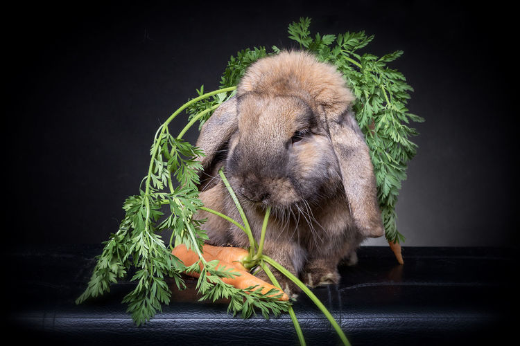 Close-up of rabbit eating carrot against black background
