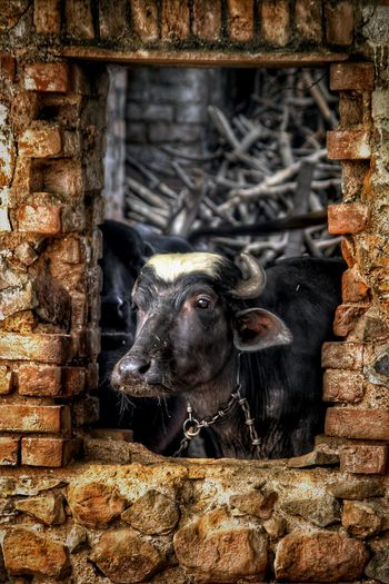 Animal Themes One Animal Domestic Animals Adapted To The City EyeEm Nature Lover Natural Light Eye4photography  EyeEm Best Shots Incredible India Street Photography India Street Photography Window Outdoors Rural Scene Buffalo Buff Hdr_lovers Break The Mold Pet Portraits