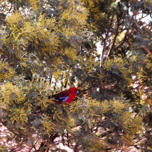 Bird Themes Australian Wildlife Birds Of EyeEm  Crimson Rosella Tree Plant Animal Wildlife Beauty In Nature High Angle View Bird Nature Growth Outdoors Plant Part