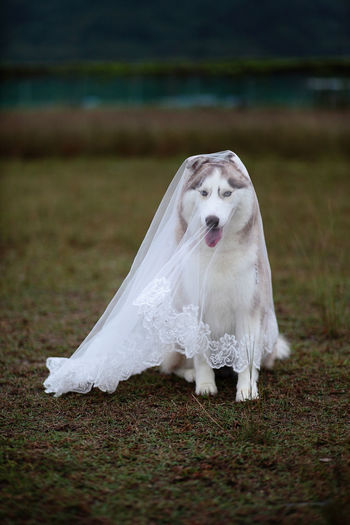 Bride to be Animal Themes Bride To Be Close-up Day Dog Domestic Animals Grass Husky Mammal Nature No People One Animal Outdoors Pets Water Wedding Veil White Color Pet Portraits The Week On EyeEm Visual Creativity #FREIHEITBERLIN