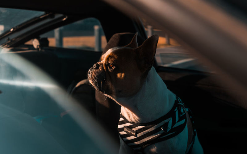 Frenchie doing frenchie things