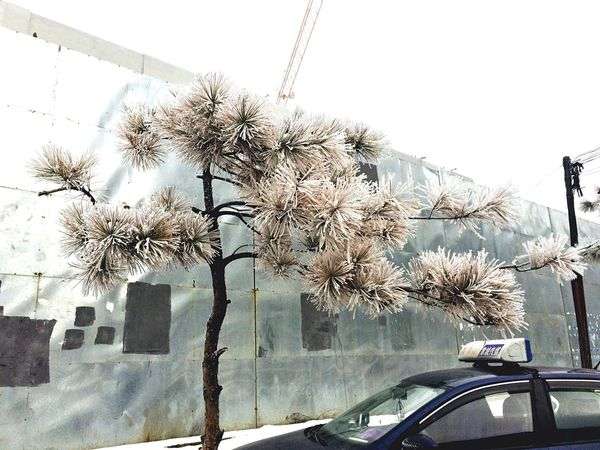 Rime Pinetree For the first time I thought the Roadside Tree were not in the way of the Pedestrian Path