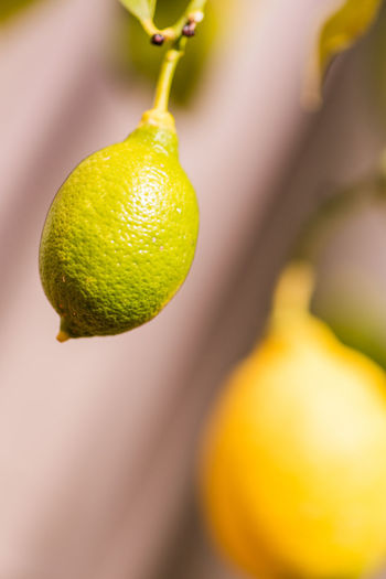 Green Nature Nature Photography Plant Tree Citrus Fruit Close-up Focus On Foreground Food Food And Drink Freshness Fruit Growth Healthy Eating Lemon Lemon Tree Macro Nature Nature_collection No People Outdoors Spring Springtime Tree Yellow
