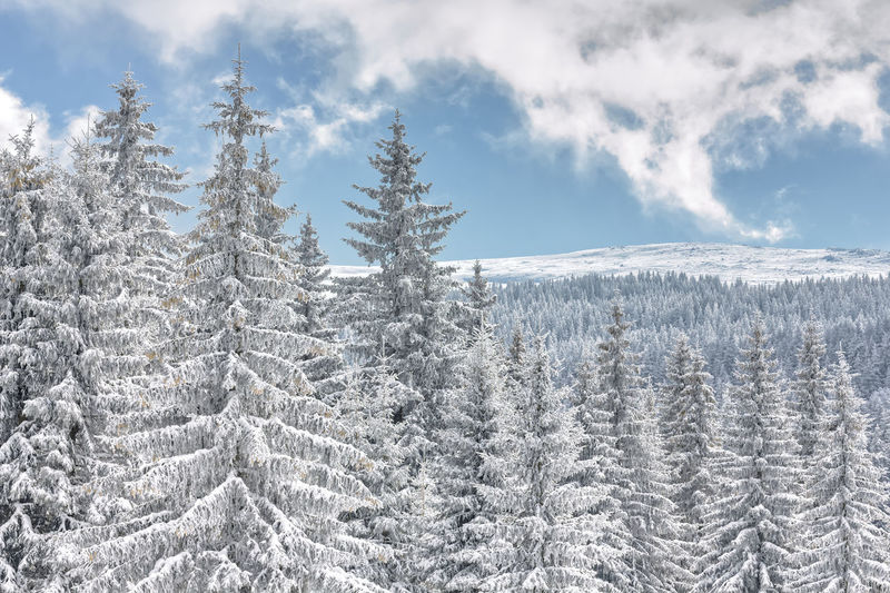 Woodland with pine trees covered in snow blanket against blue sky in vitosha mountain, bulgaria