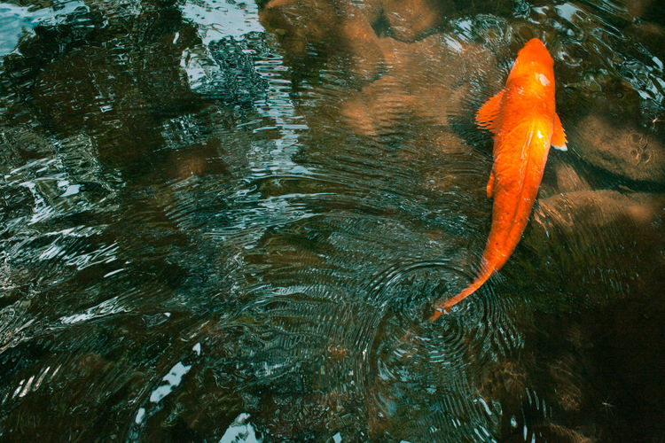 Animals Carp Check This Out Colors Colour First Eyeem Photo Fish High Angle View Mysterious Nature Nature Orange Color Outdoors Reflection Serene Tranquility Water