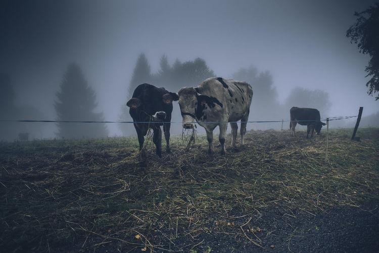 Cows Cow Farm
