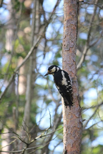 Tree Animal Themes Animals In The Wild Animal Animal Wildlife One Animal Vertebrate Bird Plant Focus On Foreground Perching Day Woodpecker Branch Trunk Tree Trunk No People Low Angle View Nature Outdoors Lichen