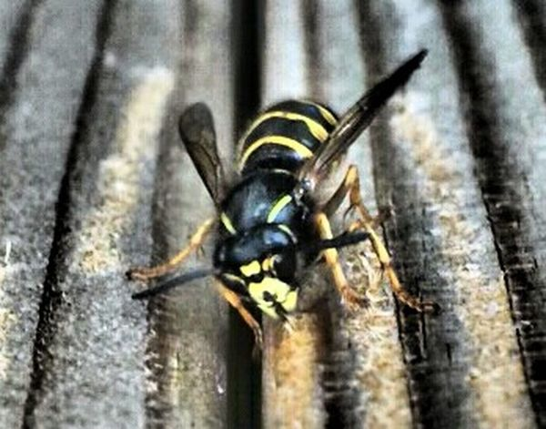 Nature Of Sweden Wasp Wasp Macro Wasps Eyeem Wasp Check This Out Eye4nature Sweden Nature_collection Macro_collection Nature Macro Macro Nature Macro Photography Eye4photography  EyeEm Best Shots Macro Beauty EyeEm Nature Lover Olympus Pen Lite E-PL7 Macro Insects  Insect Close Up Nature Eyeem Insects Popular Geting