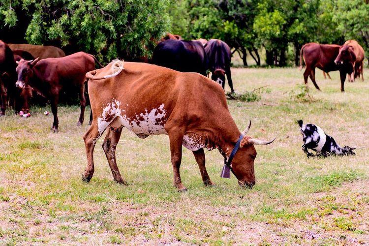 Domestic Animals On Grassy Field