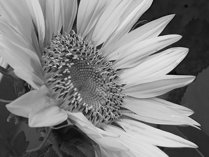 Flower Petal Flower Head Beauty In Nature Plant White Color Close-up No People Sunflower Black And White Black And White Sunflower