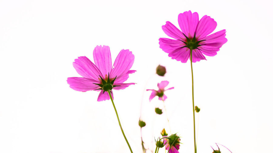 Close-up of pink cosmos flower against white background