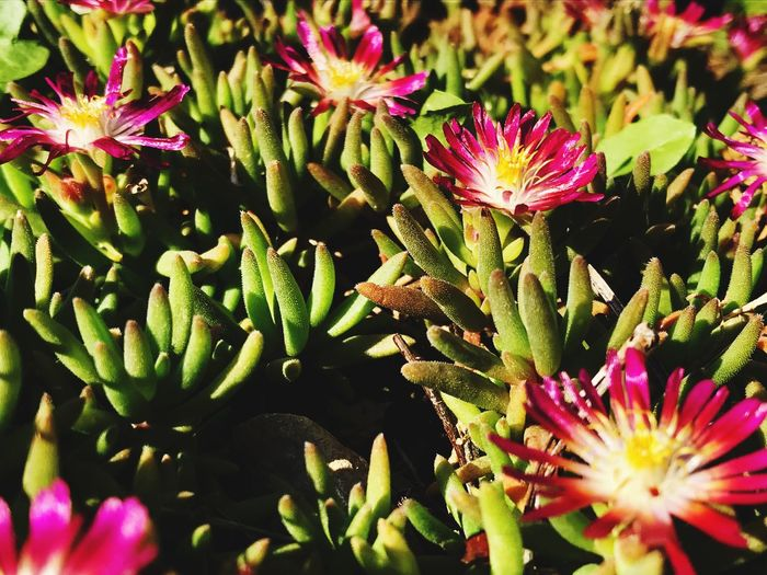 IPhoneography Plant Growth Flower Flowering Plant Beauty In Nature Vulnerability  Fragility Succulent Plant Close-up Green Color Day