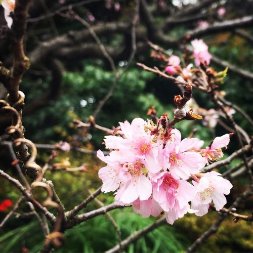Jugatsuzakura Autumn Sakura Ultimate Japan