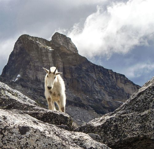 Wildlife Wildlife Photography Valhalla Provincial Park British Columbia Bc Canada Mountain Goats Mountain Range Lost In The Landscape