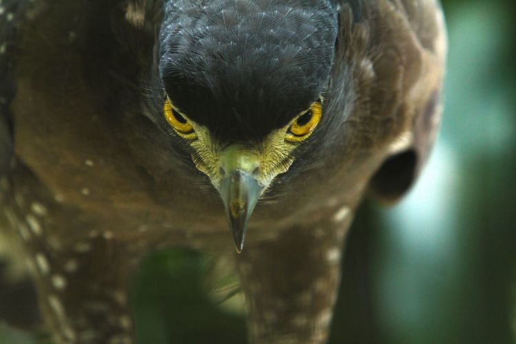 Close-up portrait of eagle