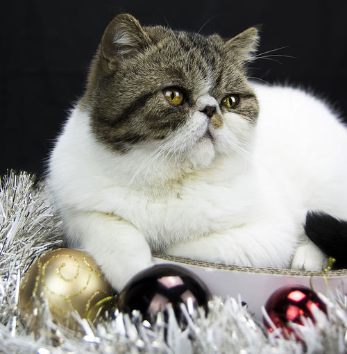 Close-up of cat sitting on christmas decoration
