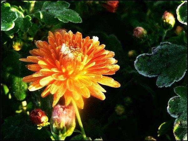 цветок  мороз иней утро оранжевый свечение яркость горячий мороз EyeEmRussianTeam