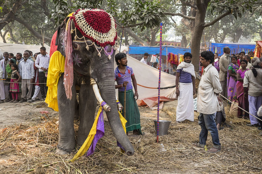 A mahout tends to his elephant. Captured at Sonepur Mela, Bihar Bihar Celebration Cultures Elephant Festival Hajipur India Ivory Mahout Multi Colored Outdoors Sonepur Sonepurmela Sonpurmela Straw Tusks