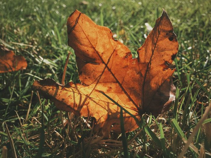 Beauty in decay Leaf Dry Change Autumn Close-up Season  Grass Leaf Vein Grassy Natural Condition Field Maple Leaf Fragility Brown Nature Selective Focus Fallen Day Orange Color Tranquility