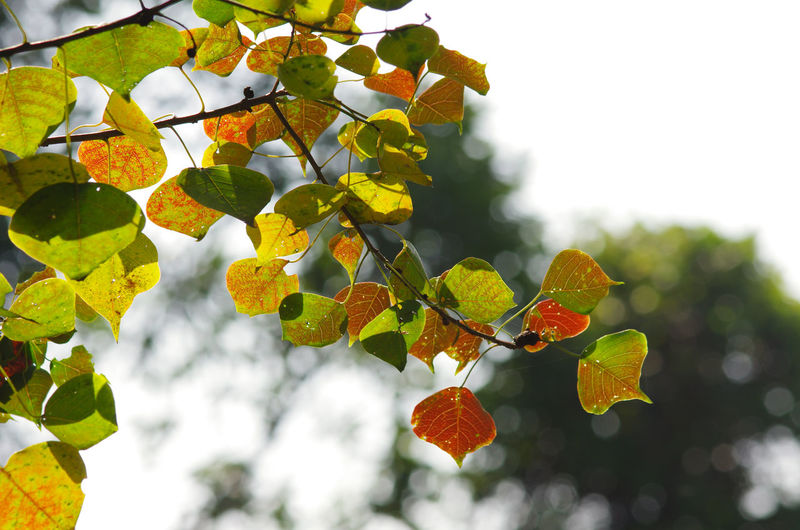 Leaf Plant Part Plant Growth Tree Focus On Foreground Beauty In Nature Low Angle View No People Nature Day Branch Close-up Outdoors Yellow Green Color Freshness Autumn Tranquility Sky Change Leaves