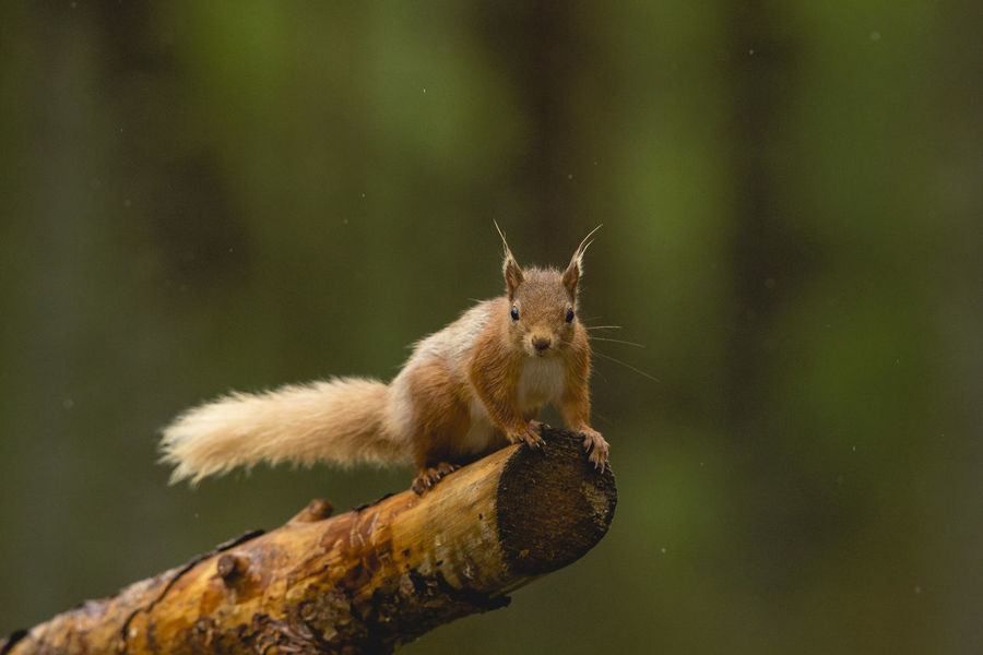 Red Squirrel leaping through the air. Animal Themes Animal Wildlife Animals In The Wild Close-up Day High Resolution Jump Leap Motion Nature No People One Animal Outdoors Rain Raindrops Red Squirrel Red Squirrel Close Up Red Squirrel Jump Red Squirrel Leap Red Squirrel Leaping Red Squirrels Squirrel Squirrel Closeup Squirrel In Motion