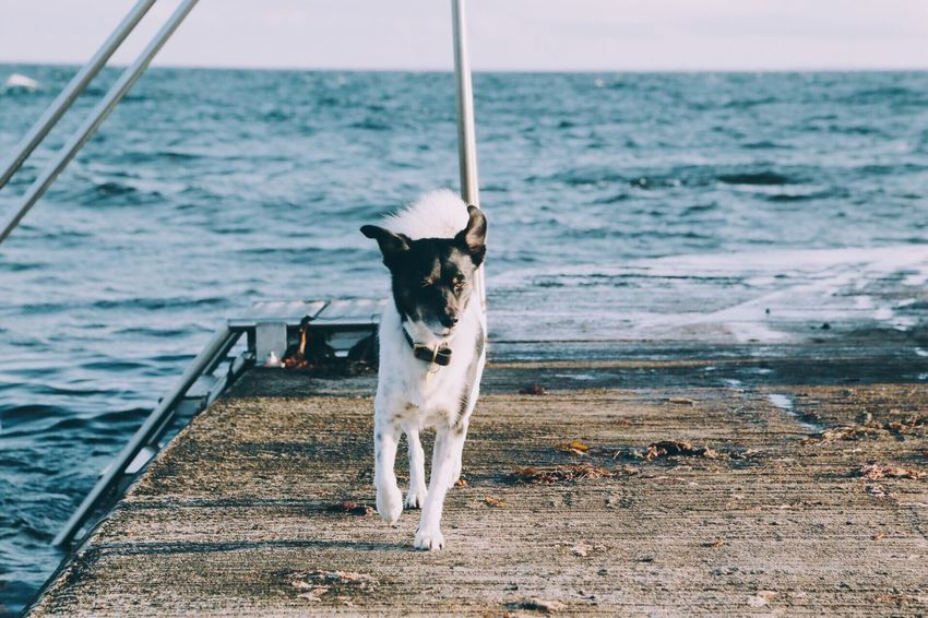 Sea Dog Pets Domestic Animals One Animal Animal Themes Water Beach Mammal Horizon Over Water Outdoors No People Day Nature Sky Beauty In Nature Adventure Summer Portrait Scenics Pet Dog Running Enjoyment Leisure Activity Blue Sea