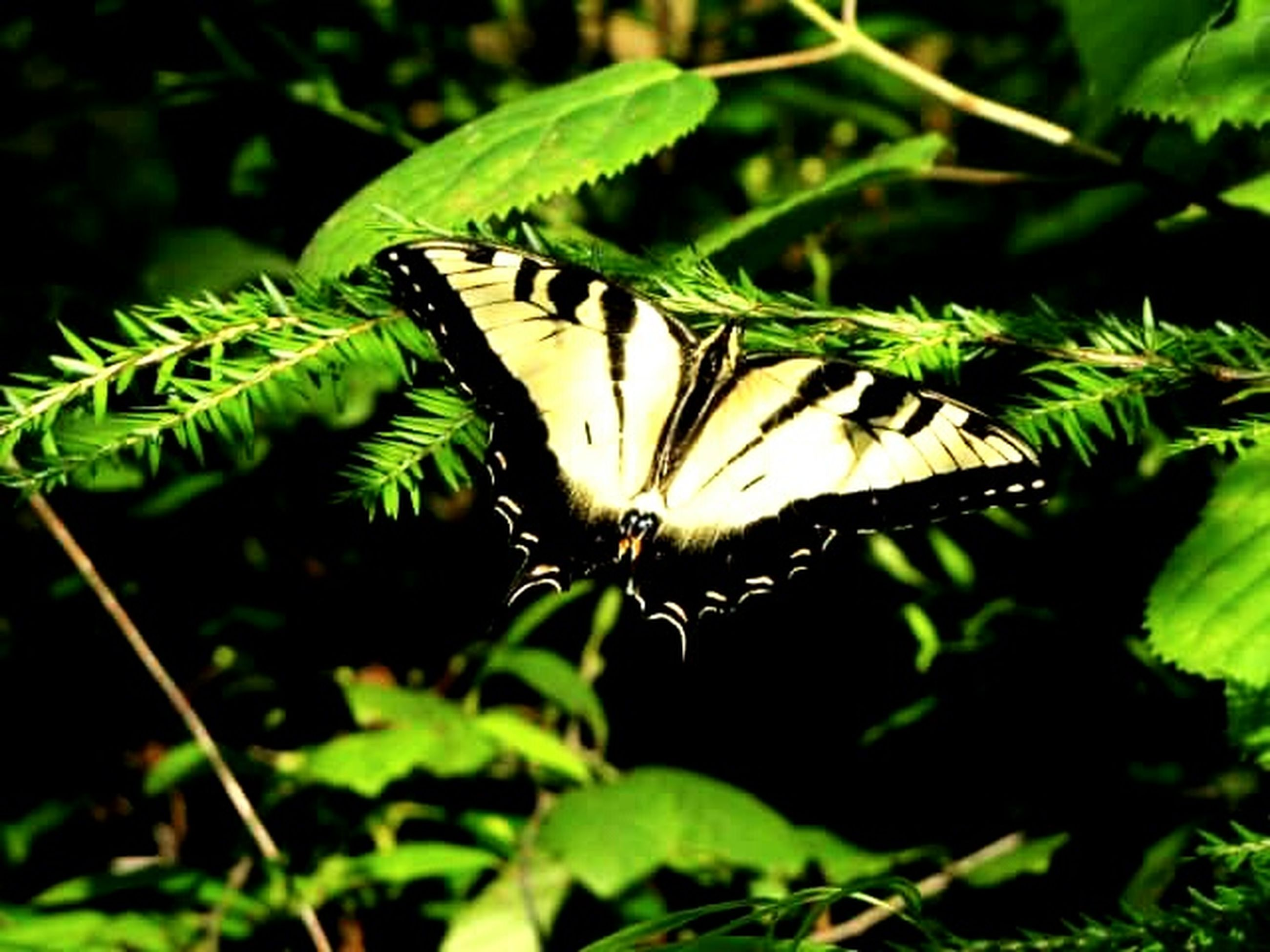insect, animals in the wild, one animal, animal themes, wildlife, butterfly - insect, leaf, plant, butterfly, close-up, growth, focus on foreground, flower, green color, nature, beauty in nature, animal wing, animal markings, animal antenna, fragility