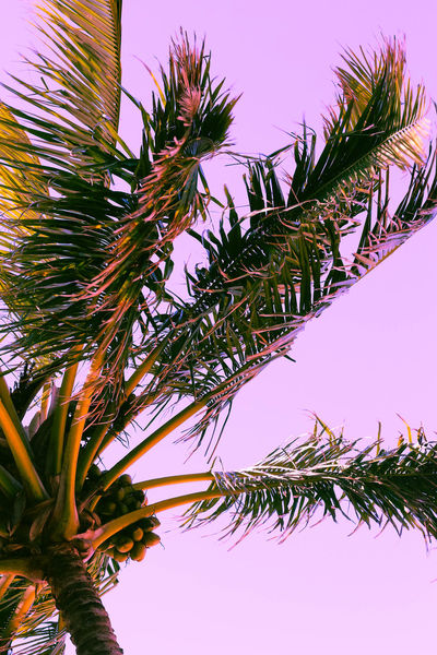 palm tree in the wind on a pink sky Beach Nature Pink Beauty In Nature Branch Clear Sky Close-up Day Freshness Growth Leaf Low Angle View Nature No People Outdoors Palm Tree Sky Tree