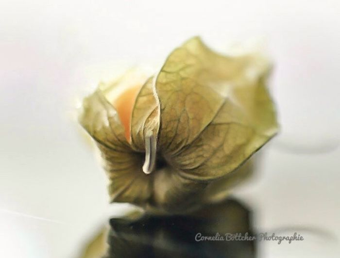 Close-up No People White Background Picoftheday Indoors  Photooftheday Photography Picture Beauty In Nature Nature Fotooftheday Physalis Fruit Physalia Physalis Früchtchen Pic Picofday