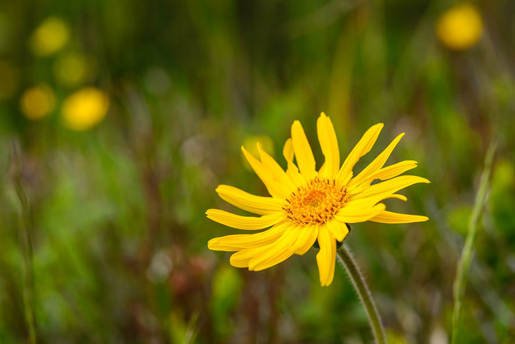 Arnica Arnica Montana Erve Erve Miozzo Photo Miozzo Nature Beauty In Nature Blooming Close-up Day Flower Flower Head Fragility Freshness Growth Nature No People Outdoors Petal Plant Yellow