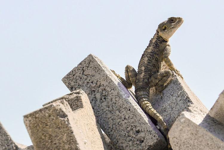 Animal Themes Animal Wildlife Close-up Iguana Low Angle View No People One Animal Outdoors Reptile Sky