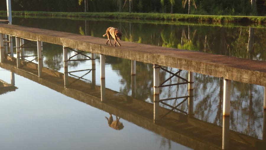 Dog walking on footbridge