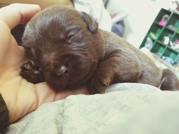 Balu 2weeksold Baby Labrador Puppy