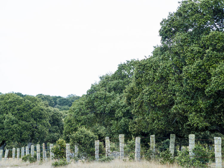 Encina Lines Tree Beauty In Nature Clear Sky Countryside Day Dehesa Environment Fence Forest Forest Photography Green Color Growth Landscape Nature No People Outdoors Quercus Quercus Ilex Rural Landscape Rural Scene Scenics Sky Tree