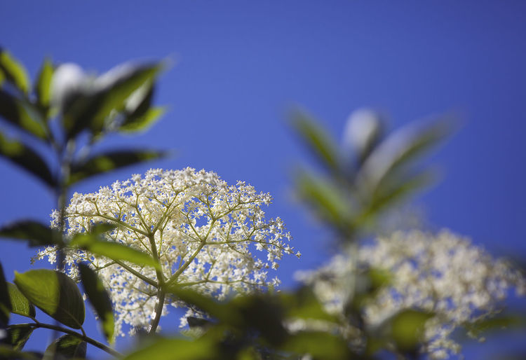 Close-up of flower against clear blue sky