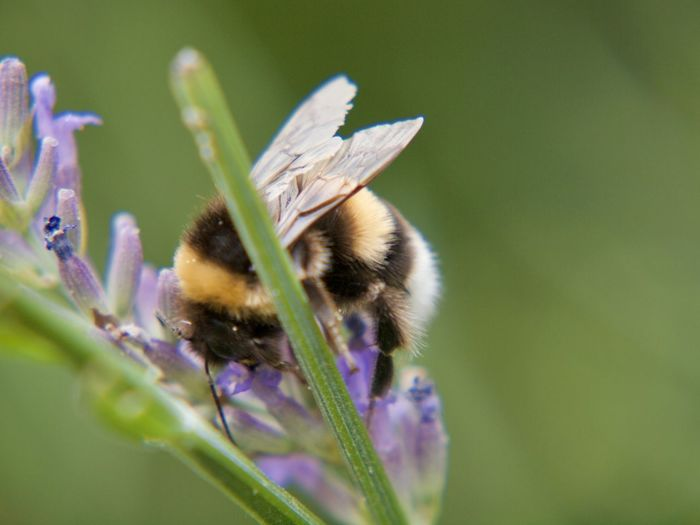 A bumblebee on