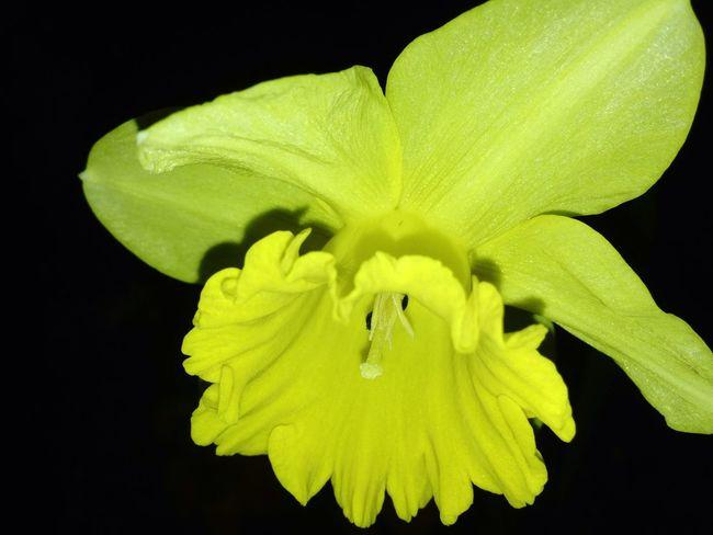 Lemon By Motorola Yellow Flower Yellow Flowers Flower Nightphotography Motorolaphotography