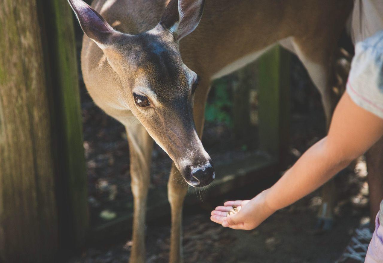 Cropped image of girl feeding deer
