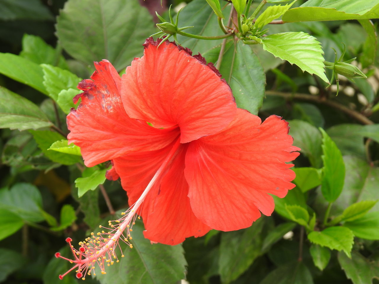 CLOSE-UP OF RED HIBISCUS FLOWER AGAINST GREEN LEAVES