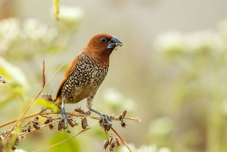 The scaly-breasted munia or spotted munia, known in the pet trade as nutmeg mannikin or spice finch, is a sparrow-sized estrildid finch native to tropical Asia. Animal Animal Themes Animal Wildlife Animals In The Wild Animals In The Wild Beauty In Nature Bird Bird Photography Birds Finch Goa India Lonchura Punctulata Munia Nature Nutmeg Mannikin Perching Scaly-breasted Munia Spice Finch Spotted Munia Wild Wildlife Wildlife & Nature Wildlife Photography