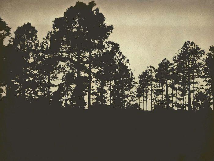 Pinetrees Sunset Arizona Mountains
