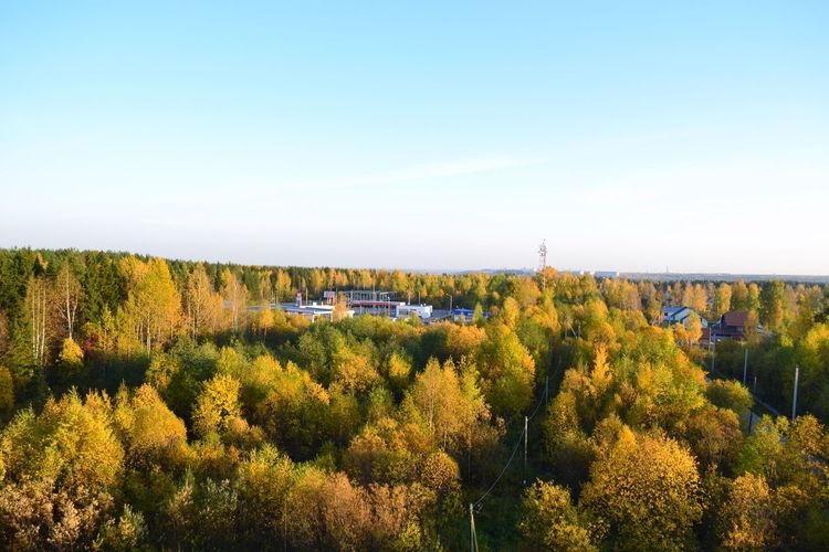 Золотая осень. чистое небо осеннеенастроение лес осень Золотая осень